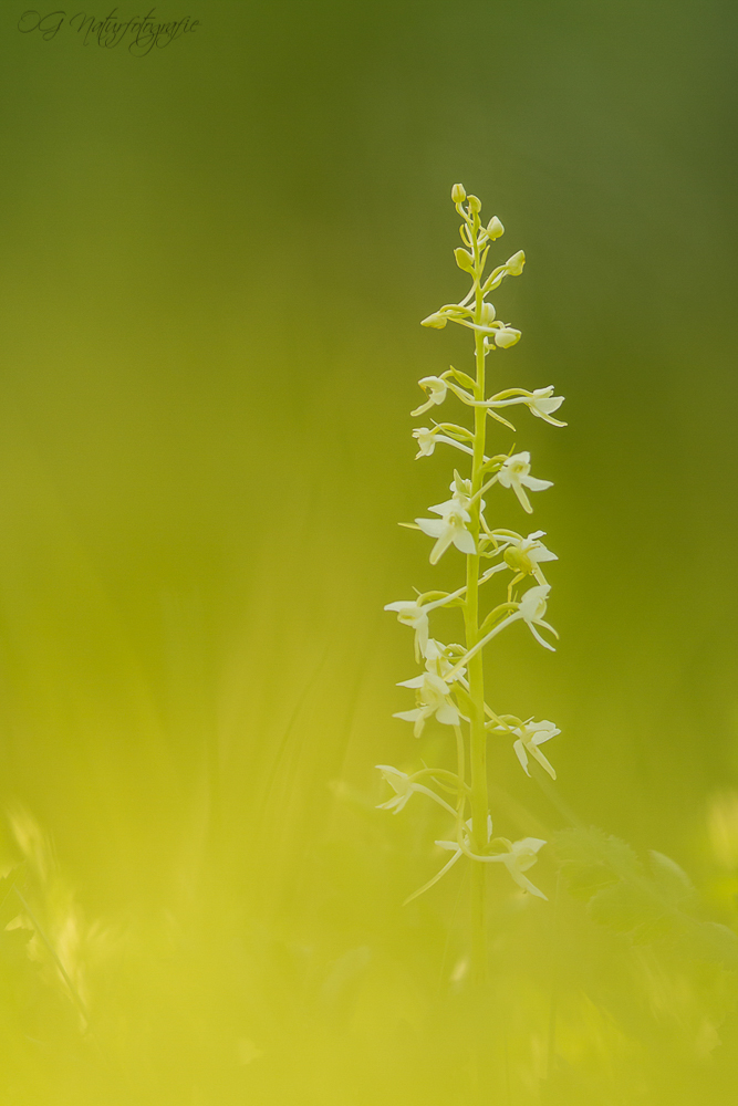 Lesser Butterfly Orchid